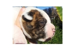Featured Breeder of American Bulldogs with Puppies For Sale