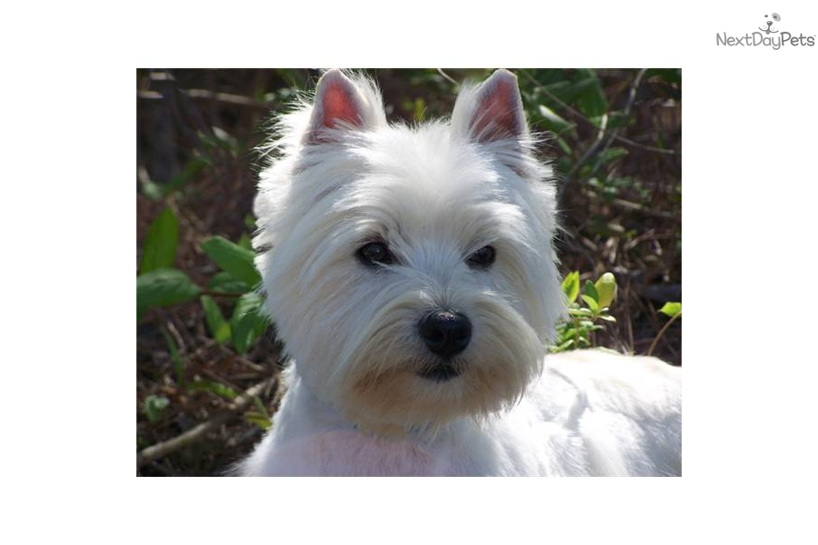 Westie for sale nc