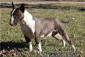 Picture of CH Brindle B