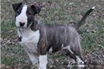 Picture of ~*AKC CH Sired by Westminster Select Dog*~