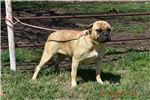 Picture of AKC Breeding Female Kennel Sell out