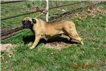 AKC Breeding Female Kennel Sell out | Puppy at 4 years of age for sale