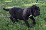 Picture of Neo Mastiff Puppies