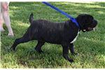 Picture of ACA/AKC Registered Neo Mastiff pups