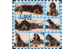 Picture of Levi- UKC Registered
