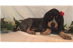Picture of Lacey- UKC Registered
