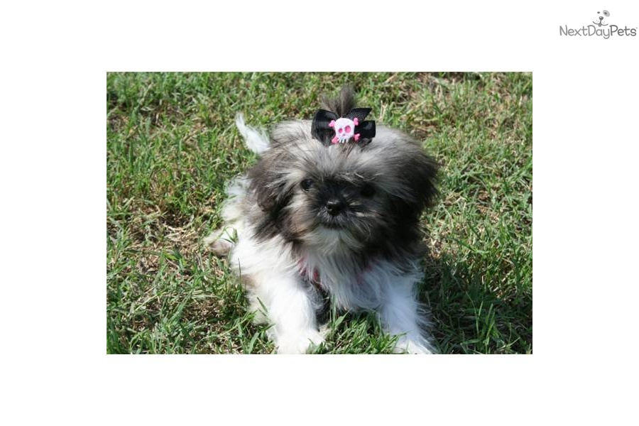 chinese shih tzu names meet squirt a cute shih tzu puppy for sale for 600 cute 9000