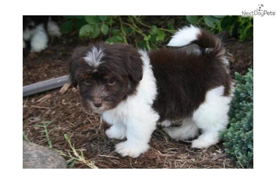 chocolate maltipoo puppies - photo #23
