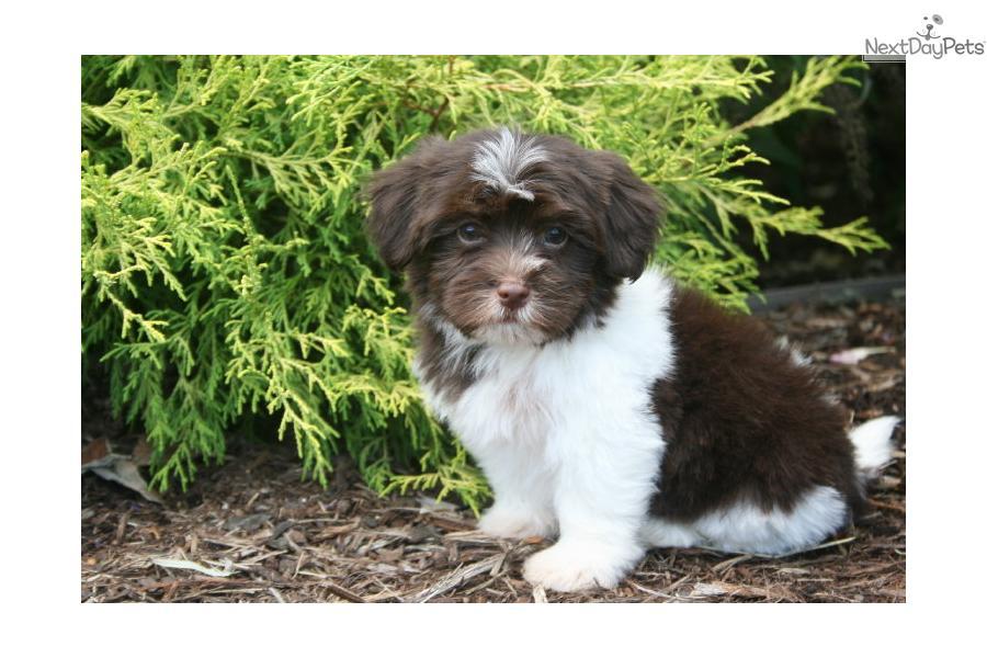 chocolate maltipoo puppies - photo #31
