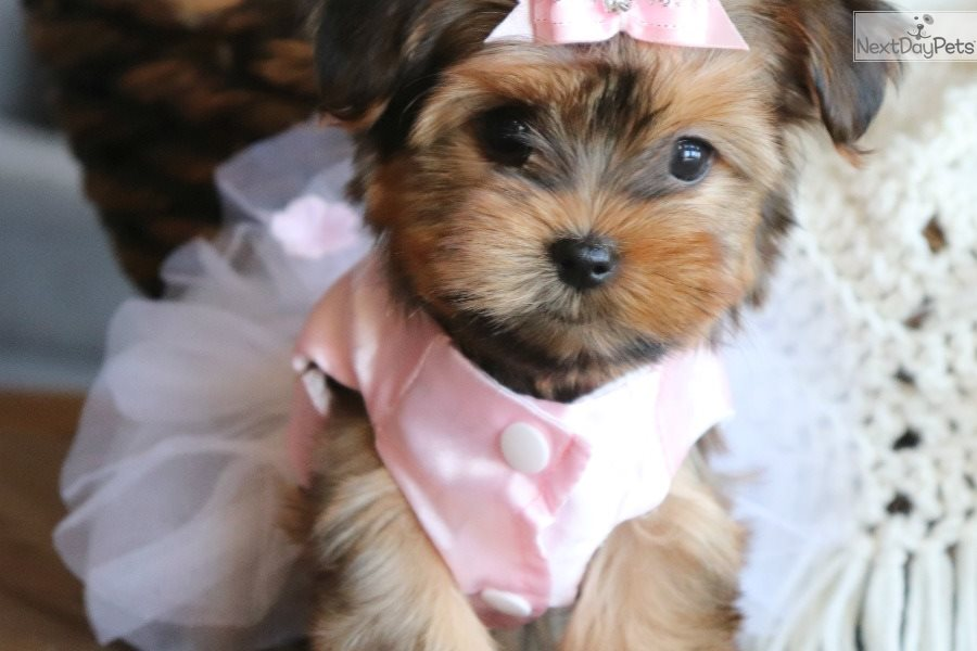Kylie: Morkie / Yorktese puppy for sale near Little Rock