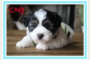 Cody | Puppy at 7 weeks of age for sale