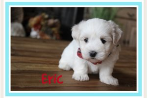 Eric | Puppy at 7 weeks of age for sale