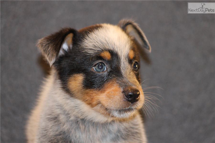 Australian Cattle Dog Puppy Weight And Food