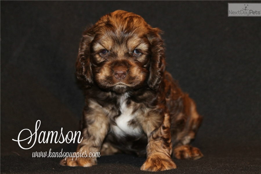 cocker spaniel puppies for sale in texas samson cocker spaniel puppy for sale near dallas fort 5346