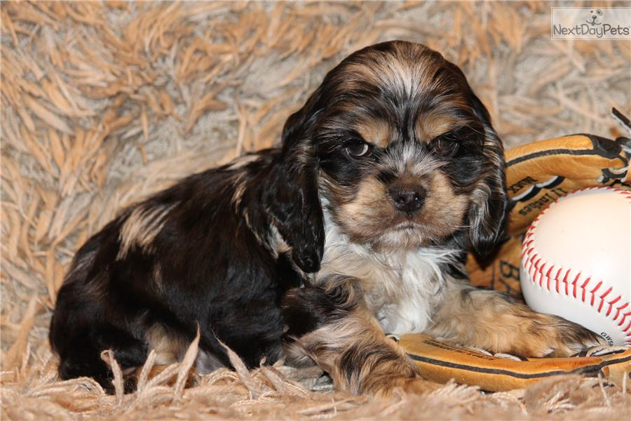 cocker spaniel puppies for sale in texas cocker spaniel puppy for sale near dallas fort worth 1184