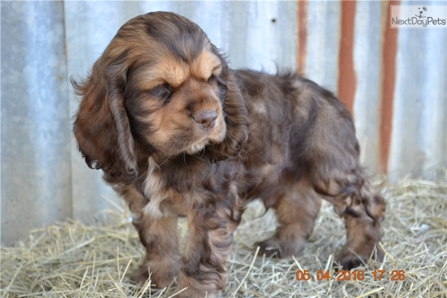 cocker spaniel puppies for sale in texas senny brown male cocker spaniel for sale in fort worth 4613