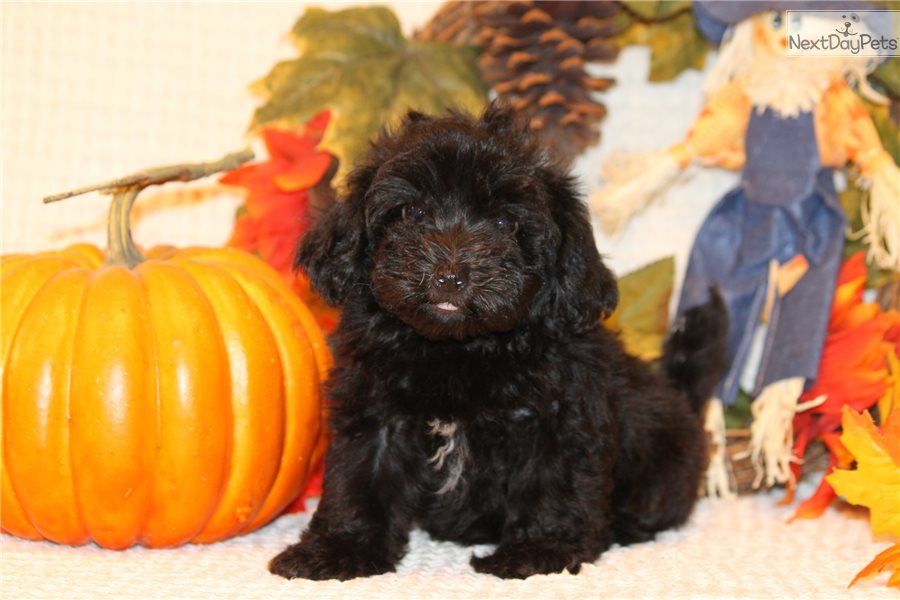 Havanese Dogs For Sale In Texas