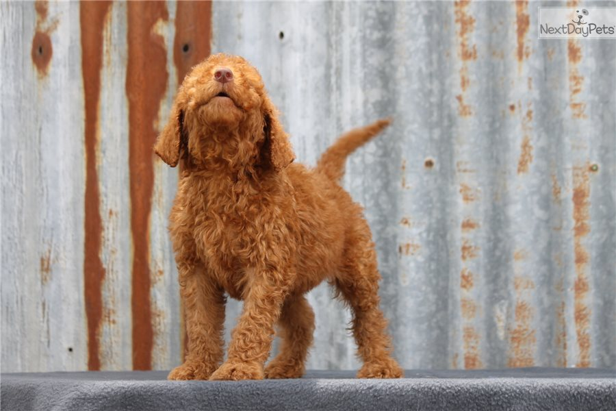 Barry: Irishdoodle puppy for sale near Dallas / Fort Worth