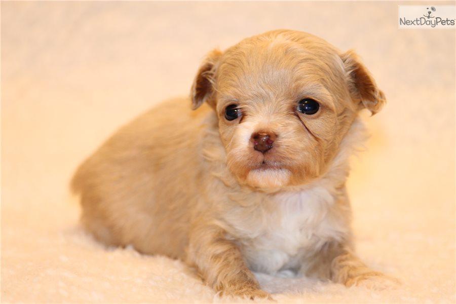 Miki Dog For Sale Texas