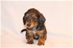 Picture of Red Sable long coat male Dachshund