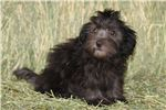 Picture of a Hovawart Puppy