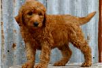 Picture of Irishdoodle - female - Blossom