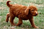 Picture of Barry Irishdoodle Male