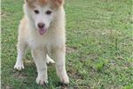 Picture of Okami - Liver Female Wolfdog