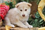 Picture of Sinda - Liver Wolfdog Female