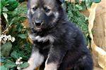 Picture of Samko - Dark Sable Wolfdog Female