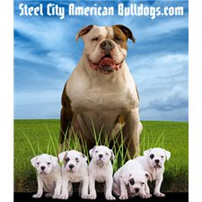 View full profile for Steel City American Bulldogs