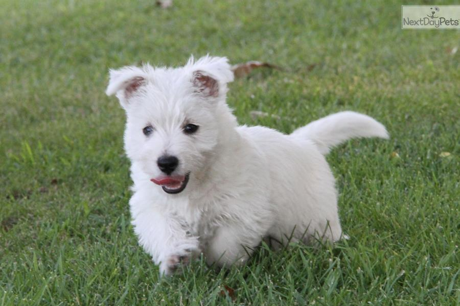 west highland terrier for sale near me west highland white terrier westie puppy for sale near 777
