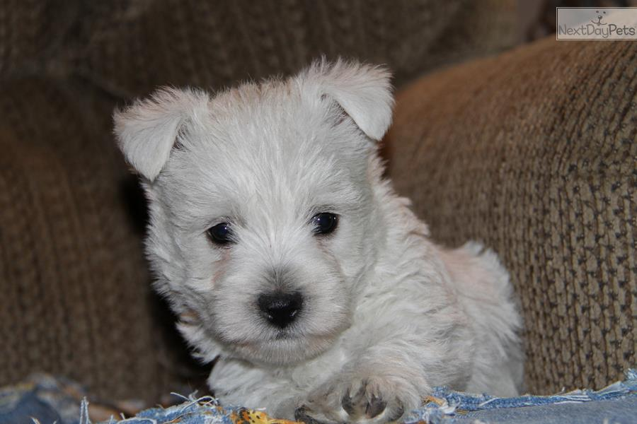 west highland terrier for sale near me shadow west highland white terrier westie puppy for 7059