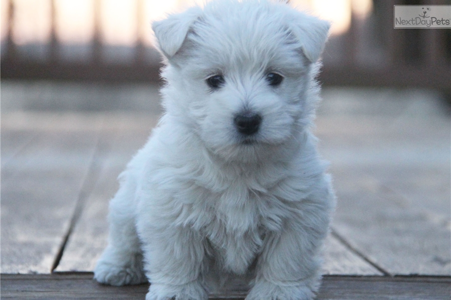 Sophie: West Highland White Terrier - Westie puppy for sale