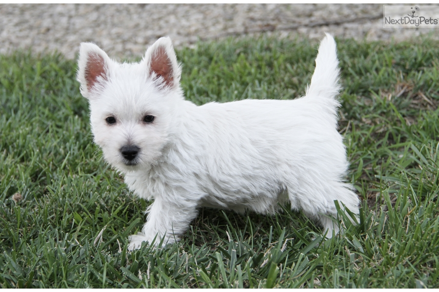 west highland terrier for sale near me sugar west highland white terrier westie puppy for sale 9446