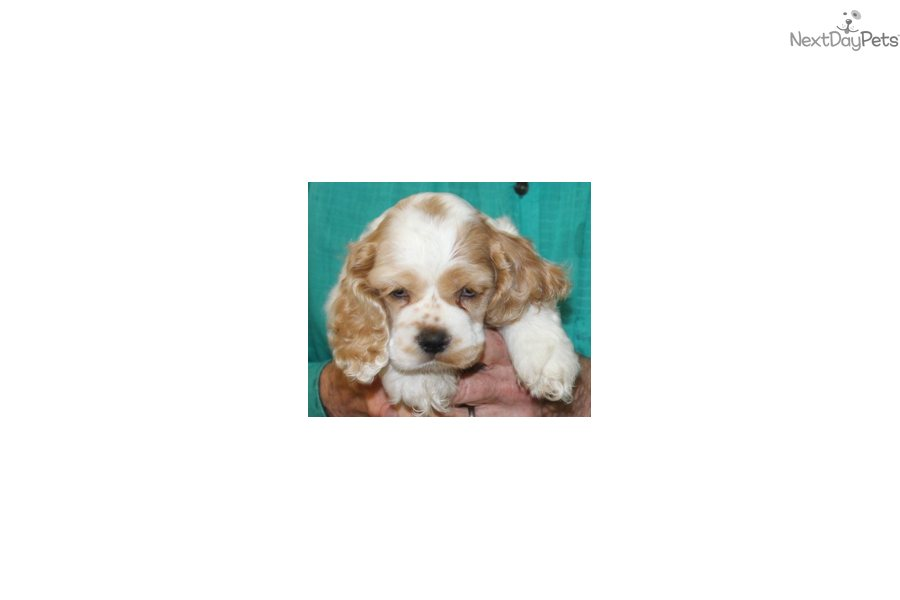 cocker spaniel puppies for sale in texas akc cocker spaniel puppy for sale near dallas fort 7776