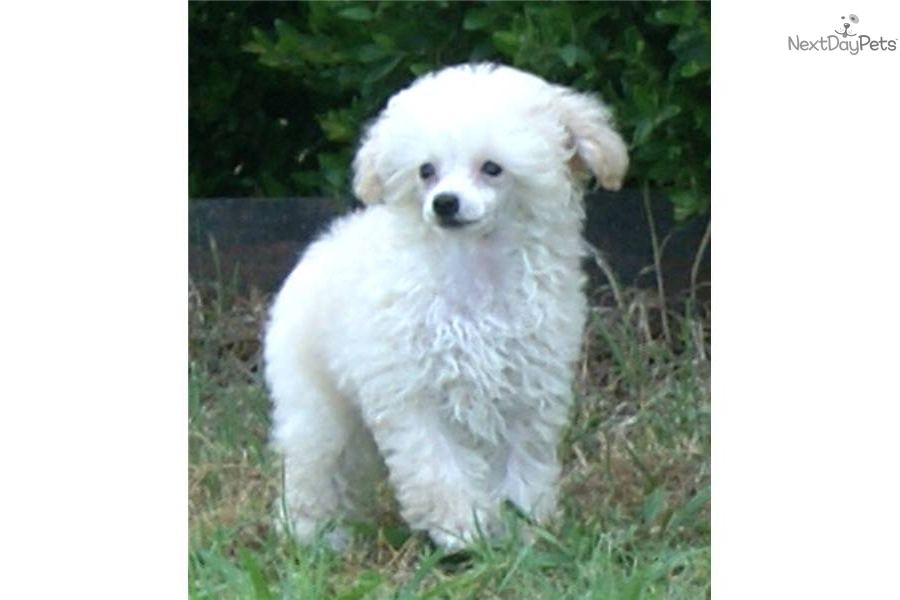 Meet Tiffany a cute Poodle, Toy puppy for sale for $2,000 ...