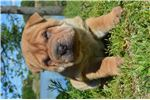 Butch Boy  | Puppy at 5 weeks of age for sale
