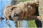 Gidget-hold | Puppy at 10 weeks of age for sale