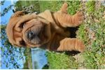 Chinese Shar Peis for sale