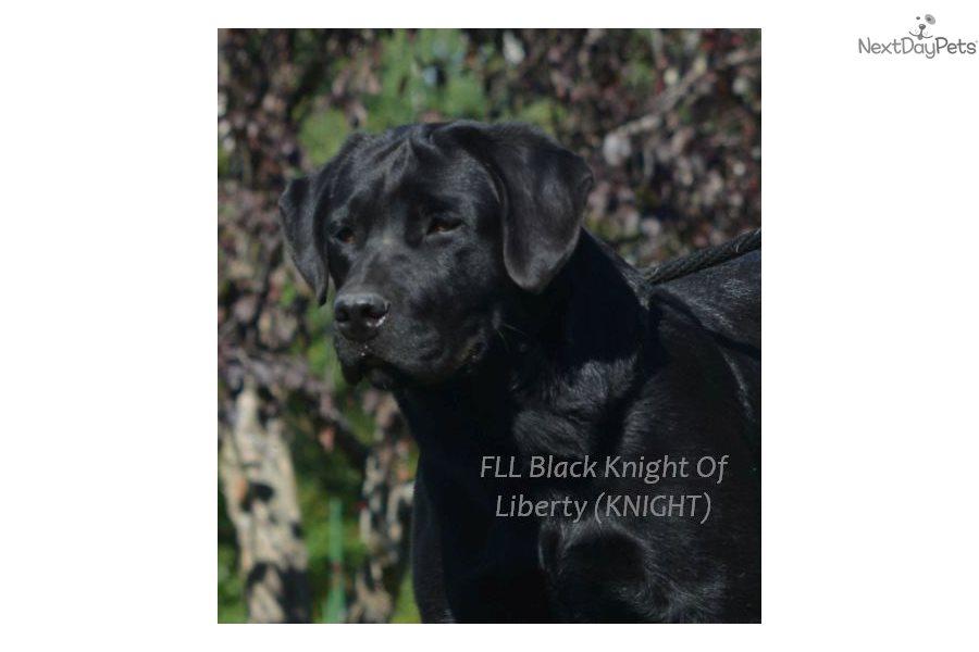 Mochas Black Boys Labrador Retriever Puppy For Sale Near
