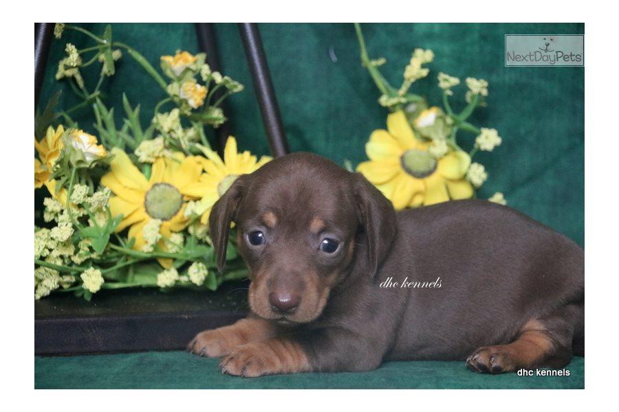 Akc Kenya: Dachshund, Mini puppy for sale near Springfield ...