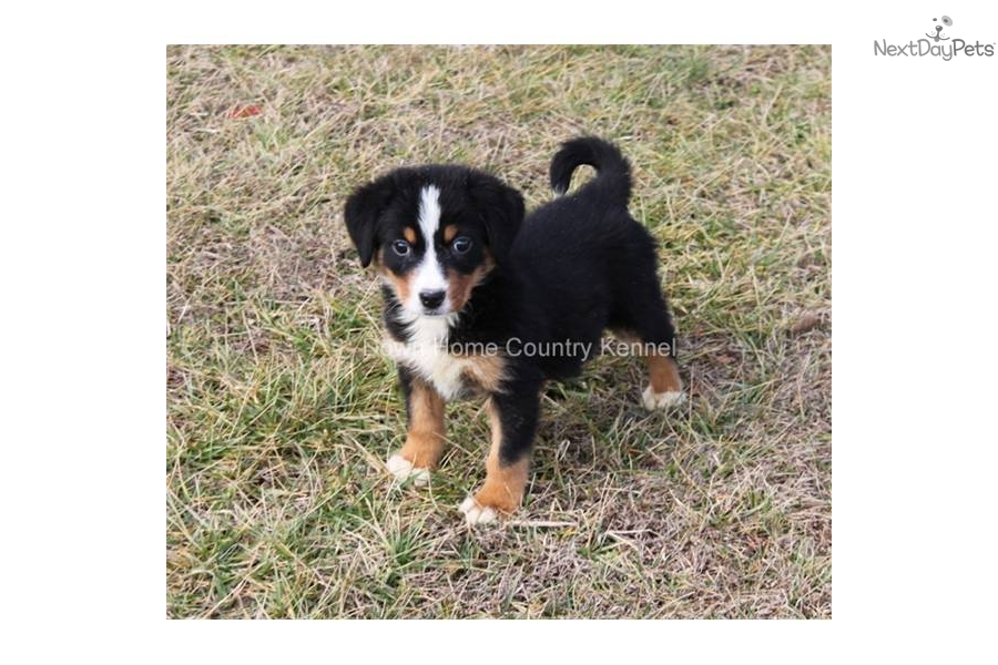 Meet Isabella a cute Greater Swiss Mountain Dog puppy for ...