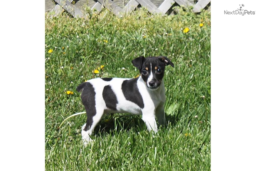 rat terrier price rat terrier puppy for sale near springfield missouri 12a5301c ebd1 7030