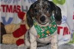 Picture of BABY- DAPPLE MINI DACHSHUND FEMALE- READY NOW!
