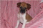 Picture of Tator Tot- Rat Terrier male for sale- Ready now!