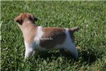 Picture of MINI ZIGGY- MINI RAT TERRIER MALE- READY 7-8