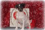 Picture of Snowy- Blue Merle Rat terrier Male- Ready Now!