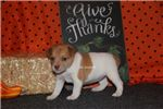 Picture of AUTUMN-FEMALE RAT TERRIER- READY 10-16-19
