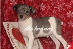Picture of Kristoff- blue merle RT Male- Ready Now!